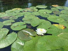 Water lily in flower, photo by Tina Spence, State Parks